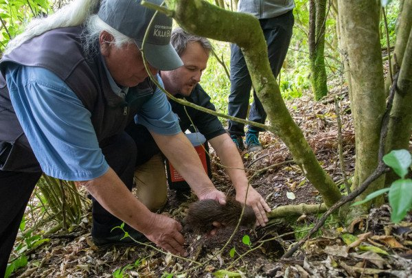 Kiwi is released into grounds of Wairakei Golf + Sanctuary